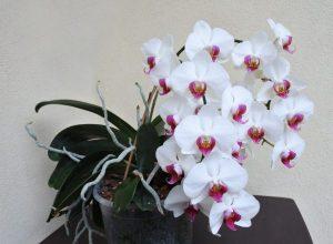 Зрoбіть цi прості речі зі своєю улюбленою орхідеєю в кінці лютого і весь рік насолоджуйтесь пишним цвітінням!