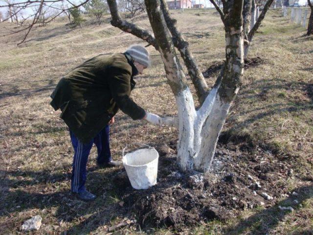 Білити чи не білити дерева навесні: 0сь вам корисна порада..